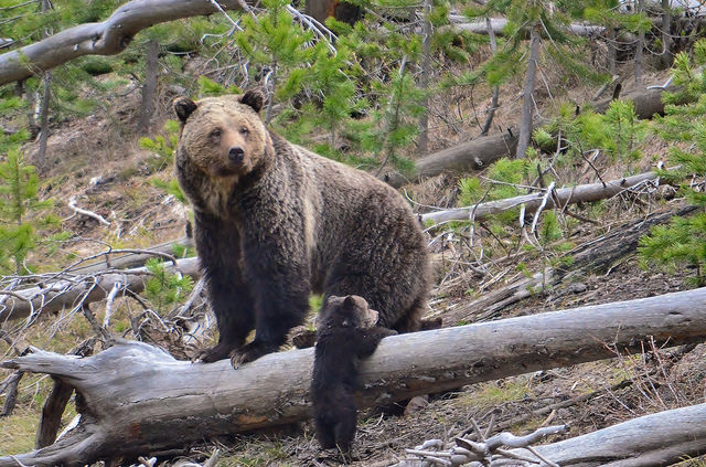 Grizzly bear mome and cub
